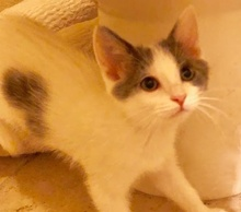 [picture of Cassio, a Domestic Short Hair white/blue\ cat]