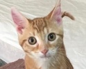 A picture of #ET02097: Tangerine a Domestic Short Hair orange