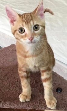 [another picture of Tangerine, a Domestic Short Hair orange\ cat]