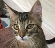A picture of #ET02098: Plum a Domestic Medium Hair gray