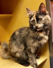 [another picture of Chelsea, a Maine Coon-x tortie\ cat]