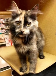 [picture of Chelsea, a Maine Coon-x tortie cat]