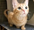 A picture of #ET02101: Tangie a Domestic Short Hair orange