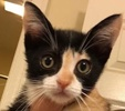 A picture of #ET02102: Passion a Domestic Short Hair calico
