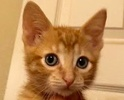 A picture of #ET02103: Tangelo a Domestic Short Hair orange
