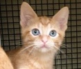 A picture of #ET02104: Apricot a Domestic Short Hair orange