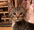 A picture of #ET02105: Jory a Domestic Short Hair grayvtabby/w white