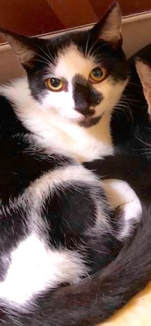 [another picture of Oreo, a Domestic Short Hair black/white\ cat]