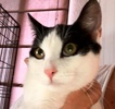 A picture of #ET02107: Cleo a Domestic Short Hair white/black
