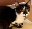 A picture of #ET02108: Tippa a Domestic Short Hair black/white