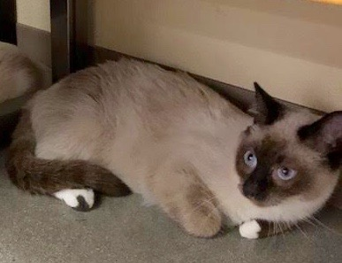 [another picture of Karate, a Siamese seal point\ cat]