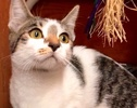 A picture of #ET02111: Keeki a Domestic Short Hair white/brown tabby