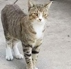 A picture of #ET02112: Brownie a Domestic Short Hair brown tabby w/white