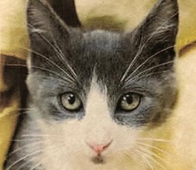 [picture of Deny, a Domestic Medium Hair blue/white\ cat]