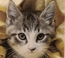 [picture of Owen, a Domestic Medium Hair tabby/white\ cat]