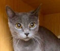A picture of #ET02119: Rusaki a Russian Blue Mix blue