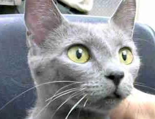 [picture of Rusaki, a Russian Blue Mix blue\ cat]