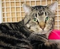 A picture of #ET02120: Snickers a Domestic Short Hair brown tabby