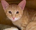 A picture of #ET02121: Link a Domestic Short Hair orange