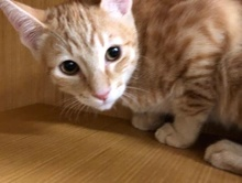 [picture of Link, a Domestic Short Hair orange\ cat]