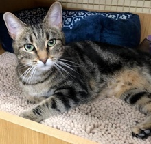[another picture of Aloha, a Domestic Short Hair black marble tabby\ cat]