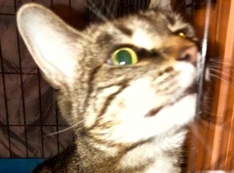 [picture of Aloha, a Domestic Short Hair black marble tabby\ cat]