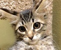 A picture of #ET02125: Dafodil a Domestic Medium Hair gray tabby