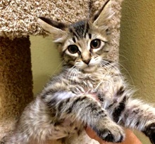 [another picture of Dafodil, a Domestic Medium Hair gray tabby\ cat]