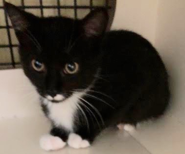[another picture of Duke, a Domestic Short Hair black/white tuxedo\ cat]