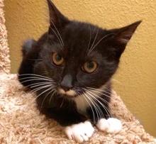 [picture of Duke, a Domestic Short Hair black/white tuxedo\ cat]