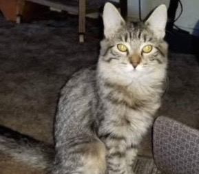 [picture of Gretal, a Maine Coon-x gray\ cat]