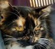 A picture of #ET02129: Yasmeen a Domestic Medium Hair calico