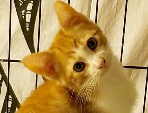 [picture of Peekaboo, a Domestic Medium Hair orange/white\ cat]