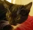 A picture of #ET02131: Sassy Pants a Domestic Medium Hair black/white