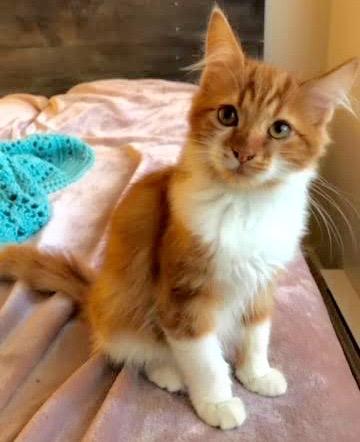 [picture of Fabio, a Domestic Medium Hair orange/white cat]