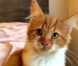 [picture of Fabio, a Domestic Medium Hair orange/white\ cat]