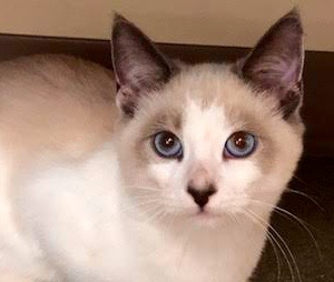 [picture of Pho, a Siamese blue point\ cat]