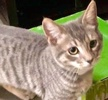 A picture of #ET02134: Mato a Domestic Short Hair silver tabby