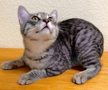[another picture of Pietro, a Domestic Short Hair silver tabby\ cat]