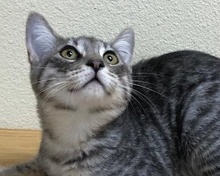 [picture of Pietro, a Domestic Short Hair silver tabby\ cat]