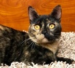 A picture of #ET02137: Lassira a Domestic Short Hair tortie