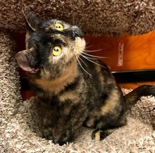 [another picture of Lassira, a Domestic Short Hair tortie\ cat]