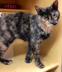 [picture of Lassira, a Domestic Short Hair tortie cat]