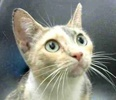 A picture of #ET02138: Brilla a Domestic Short Hair dilute calico