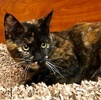 A picture of #ET02139: Brinklee a Domestic Short Hair torite