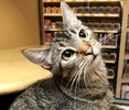 A picture of #ET02140: Taika a Domestic Short Hair brown tabby
