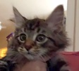 A picture of #ET02142: Hummus a Maine Coon-x brown tabby