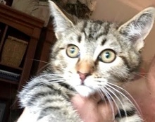 [picture of Pita, a Domestic Short Hair brown tabby\ cat]