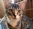 A picture of #ET02146: M. Obama a Domestic Short Hair tabby/white