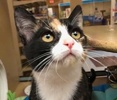 A picture of #ET02151: Violin a Domestic Short Hair calico